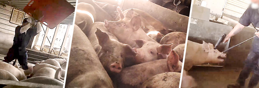 farm abuse Ayrshire farm abuse - ayrshire farm is a certified humane and certified organic farm located in upperville, va and owned by nationally recognized animal rights advocate sandy lerner.